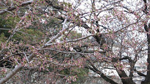 桜開花10