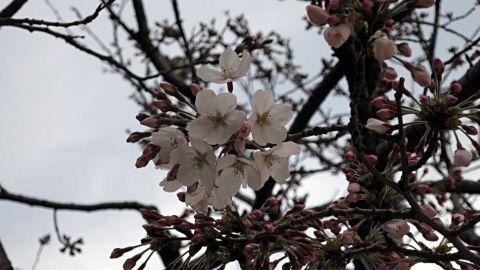 桜開花12