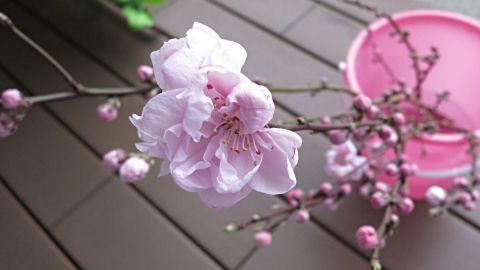 桜開花13