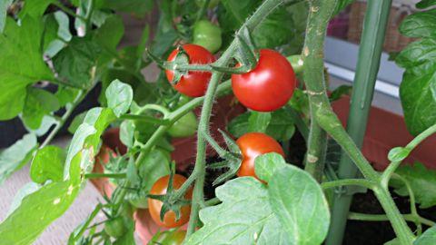 プチトマト3